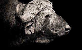 David Lloyd African Buffalo