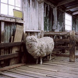 Double fleeced sheep, Falkland Islands. Image © Jon Tonks, from the series 'Empire'.
