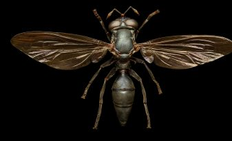 Wasp Mimic Hoverfly, from the series 'Microsculpture' © Levon Biss